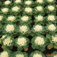 供应羽衣甘蓝、用于花坛、花带、广场、公园厂