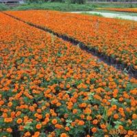 供应孔雀草、花丛、花镜、公园、花坛、广场厂