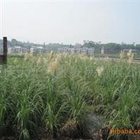 供应花境观赏草、庭院栽培植物蒲苇厂