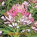 供应花坛花、用于花坛、小区、公路、广场等摆放