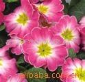 供应彩叶草种子、各种进口花种、草种