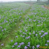供应蓝花鸢尾、用于花镜、花丛、公路两旁绿化