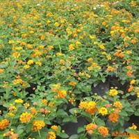 供应马樱丹、多用于花带、花丛、花镜、厂