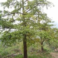 浏阳市明晨园林绿化苗圃供应银杏