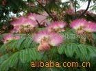 供应:合欢、水杉、紫叶李、木槿(图)