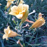 供应:宿根花卉,金娃娃,大花,奶油卷,玉簪