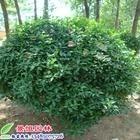 供应山东地区优质绿化苗木大叶黄杨