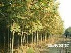 供应法桐 泰安市绿鑫苗木花卉合作社