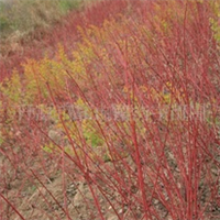 供应红瑞木 绿化苗木 灌木类 花灌木 苗木厂