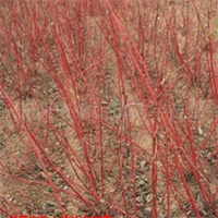 供应红瑞木 绿化苗木 灌木类 花灌木 苗木