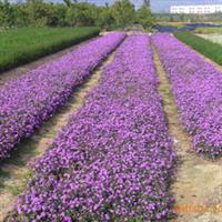 紫花马缨丹袋苗,深圳惠州绿化工程灌木,绿化袋苗厂