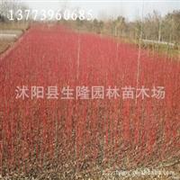 供应红瑞木,红瑞木价格,红瑞木基地厂