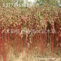供应红瑞木,红瑞木价格,红瑞木基地