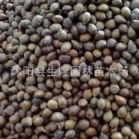 大量批发臭椿种子香椿种子黄栌种子发芽率高厂