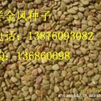 洋金凤种子 园艺绿化灌木类厂