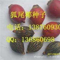 狐尾椰种子