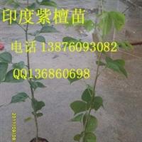 印度紫檀苗