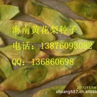 海南黄花梨苗 50~60厘米高厂