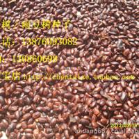 雨树/雨豆树种子厂