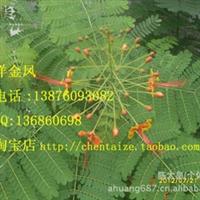洋金凤种子 园艺绿化灌木类