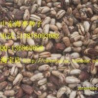 中东海枣种子    45元/斤厂