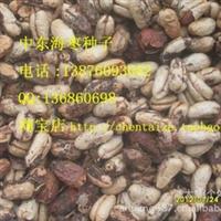 中东海枣种子    45元/斤