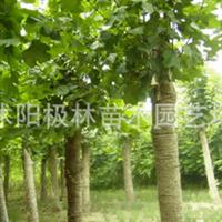 供绿化苗木乔木法桐树-花木-种苗-特色灌木-行道树-花卉