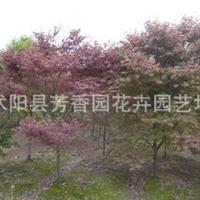 基地批发  鸡爪槭