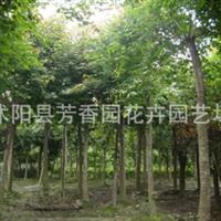 大量批发 三角枫