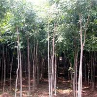 绿化工程苗木 供应杜仲