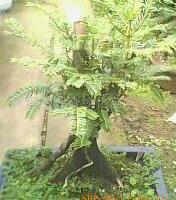 供应出售各种红豆杉盆景。