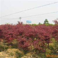 供应红枫,美国红枫,日本红枫,嫁接红枫