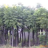 供应花木栾树