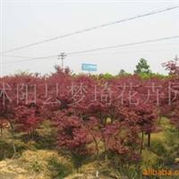 供应小区、别墅绿化苗木红枫