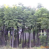 供应工程绿化苗木栾树