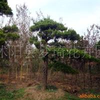 供应大紫薇盆景,红豆杉盆景,大榆树盆景龙柏盆景