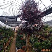 供应大紫薇盆景,红豆杉盆景,红花继木盆景、龙柏盆景