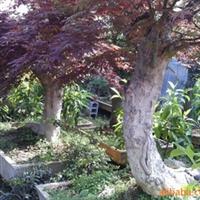 直销红枫,大红枫,大红枫树,嫁接红枫,美国红枫、