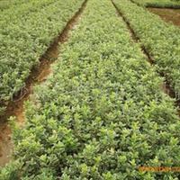 供应绿化灌木地径金边四季青  欢迎订购