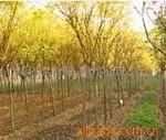 供应金丝柳、旱柳、柳树、垂柳
