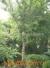 供应黄连木、枫杨、柳树