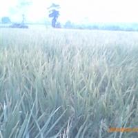 余干县东塘乡红豆杉西红花种植专业合作社长期供应糯谷