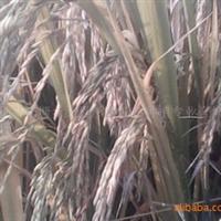 余干县东塘乡红豆杉西红花种植专业合作社供应一季晚水稻
