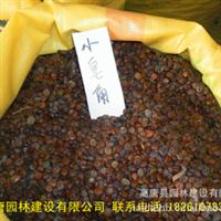 【苏北花卉种子】低价批发小皂角种子