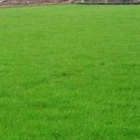 四季青*草坪种子*适合各种 球场 庭院 公园