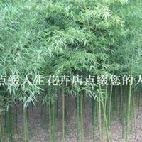 早园竹 小青竹 庭院绿化佳品 宁可食无肉,不可居无竹6元/株