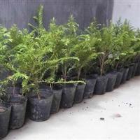出售抗癌植物 红豆杉树苗 室内盆栽植物
