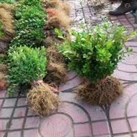 小叶黄杨苗  移栽大苗 适应各种绿化工程苗厂