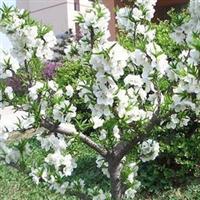 庭院观赏花卉 红花碧桃苗 寿星桃桃树苗 爱的祝福,永远爱你厂