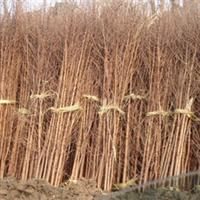 出售耐水湿速生树种遗留珍贵植物水杉苗水杉树苗厂